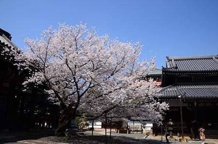 本法寺の染井吉野