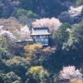 桜に包まれる千光寺大悲閣