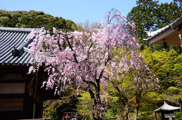 Photos: 宝積寺の八重紅枝垂れ