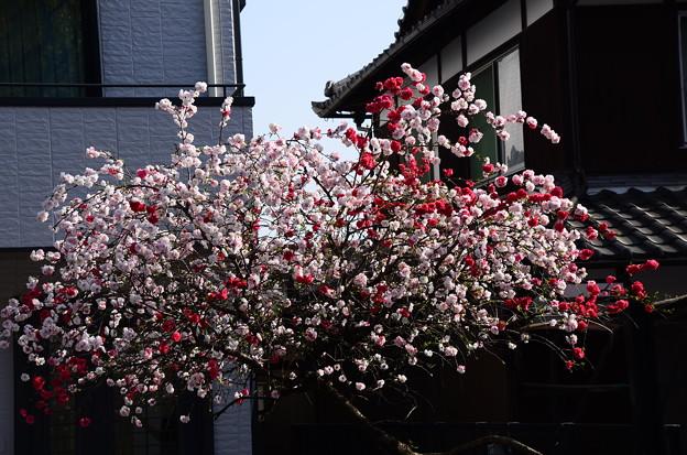 紅白の花桃