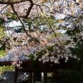 Photos: 大念寺の山桜