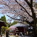 Photos: 境内を彩る桜