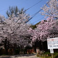 Photos: 宝積寺の桜