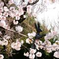 Photos: 庭園の桜