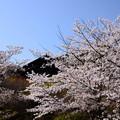 桜に包まれる大山崎山荘美術館