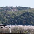 背割提の桜と男山