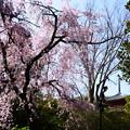桜の向こうに宝積寺の塔が見えました~
