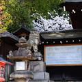 離宮八幡宮の桜