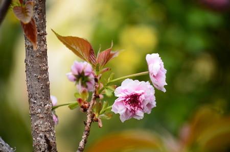 咲き始めた二尊院普賢象(ニソンインフゲンゾウ)