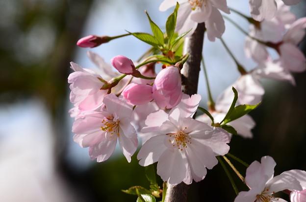 十月桜かな~?