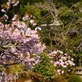 Photos: 実光院の桜