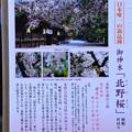 北野桜(キタノザクラ)説明