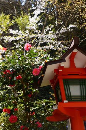 椿の後ろに咲く山桜
