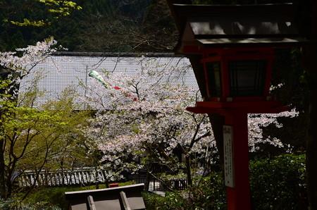 仁王門付近の桜