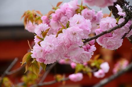 金堂向かいの桜1