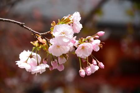 金堂向かいの桜2