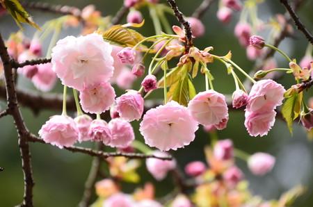 鞍馬駅脇の八重桜