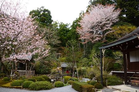 桜咲く寂光院