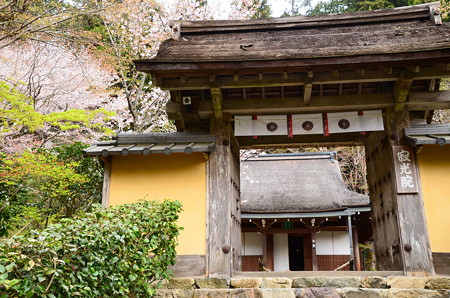 山門越しの桜