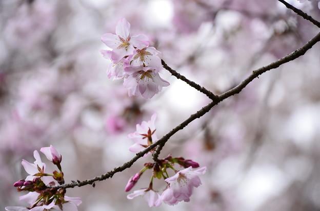 椿地蔵脇の桜