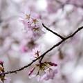 写真: 椿地蔵脇の桜