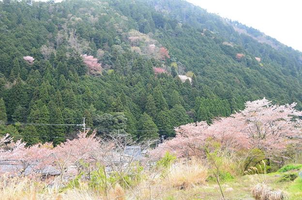 山桜との共演
