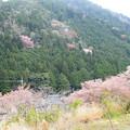 写真: 山桜との共演