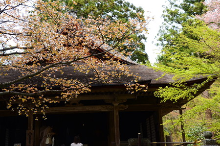 極楽往生院前の山桜