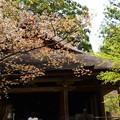 Photos: 極楽往生院前の山桜