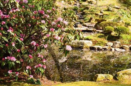 石楠花と花筏の池