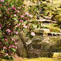 写真: 石楠花と花筏の池