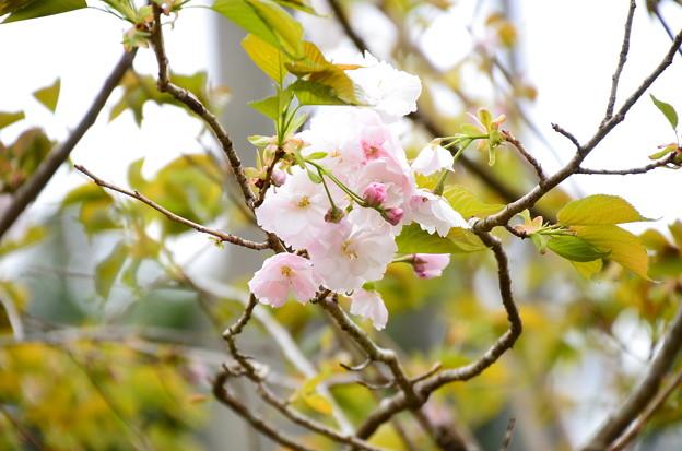 咲き始めの一葉(イチヨウ)