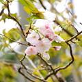 写真: 咲き始めの一葉(イチヨウ)