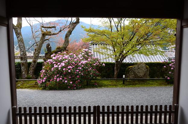 三千院の石楠花(シャクナゲ)