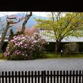 写真: 三千院の石楠花(シャクナゲ)