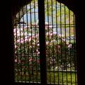 写真: 窓越しの石楠花
