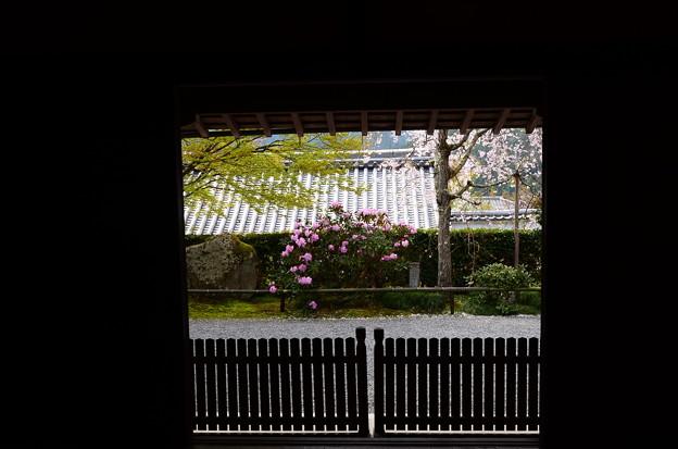 八重紅枝垂れと石楠花の三千院