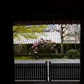 写真: 八重紅枝垂れと石楠花の三千院