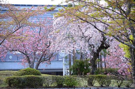国際会館の八重紅枝垂れ