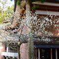 写真: 東塔入り口脇の白梅