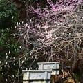 写真: 梅の残る西塔