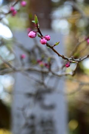 まだ蕾の花桃