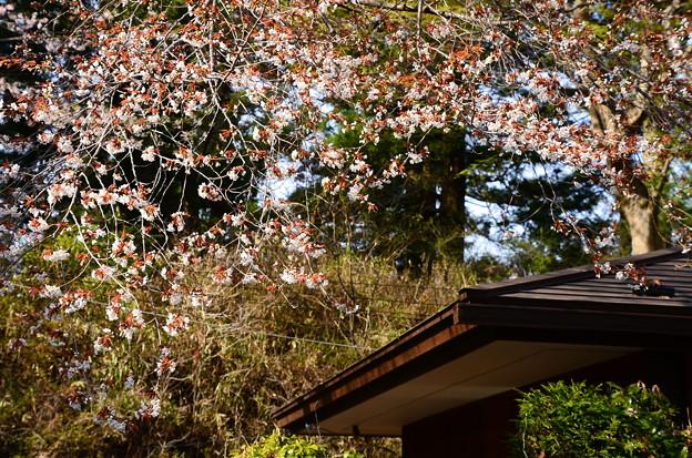 阿弥陀堂脇の山桜