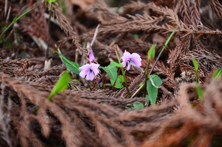 紫背菫(シハイスミレ)?