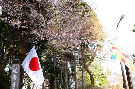 延暦寺の桜