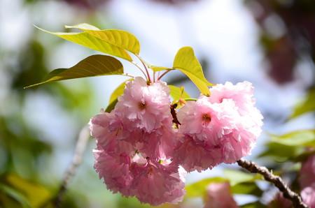 花傘(ハナガサ)