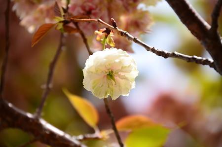ソノサトキザクラ(園里黄桜)