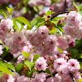 六高菊桜(ロッコウキクザクラ)
