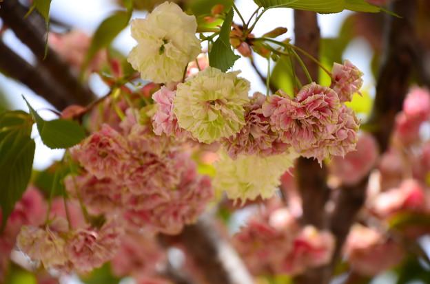 ソノサトキザクラ(園里黄桜)2