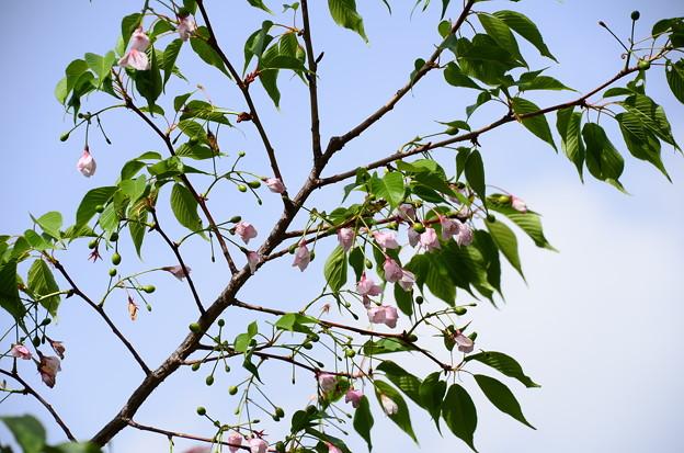 写真: 大阪城公園の桜